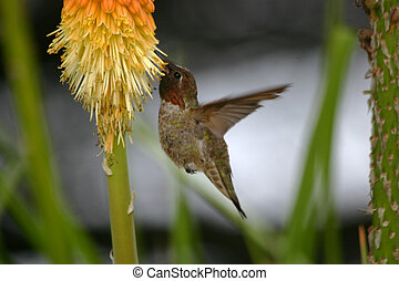 Hummingbird sucking Nectar - Hummingbird photo : A bird...