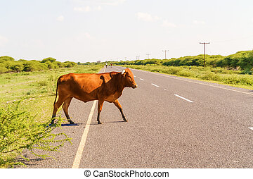 Cow on the road in Botswana. - The cow is walking on the...