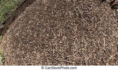 red forest ants Time lapse - life of the huge anthill in a...