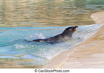 Sea Lion relaxing in the water closeup