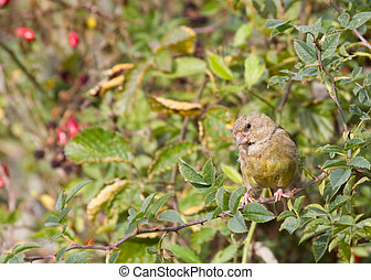 Greenfinch Carduelis chloris perched in a hedge