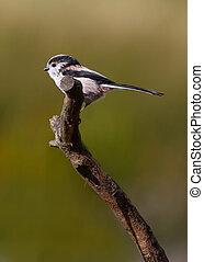 Long Tailed Tit - Long Tailed Ti ( Aegithalos caudatus)...