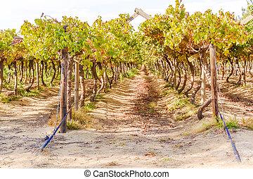 Western Cape wineyard - Wineyard in Western Cape in Soauth...