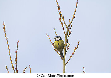 Blue Tit (Parus caeruleus) perched in a tree