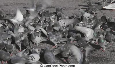 Feeding Pigeons - Flock of pigeons and doves feeding at...