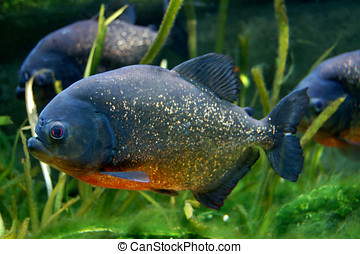Red Bellied Piranha Fish Aquarium - A shoal of Red-Bellied...
