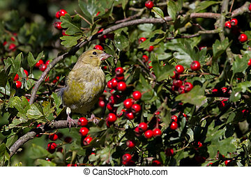 Greenfinch (Carduelis chloris) perched in a hawthorn tree
