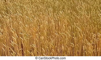 Grain in the field of wind bent - Wheat on a field in the...