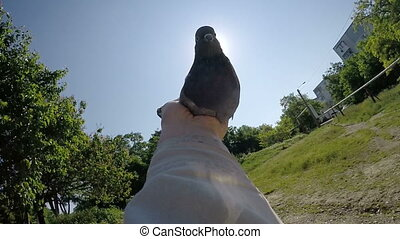 Man holding dove in his hands against sun releasing pigeon...