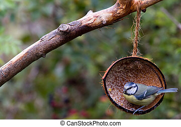 Blue Tit (Parus caeruleus) perched in a coconut shell