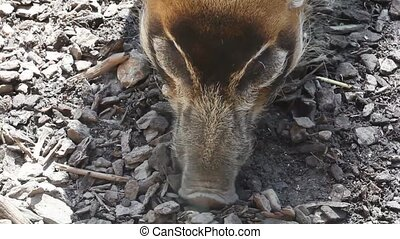 Potamochere, Red boar - Taken with canon eos 5D markII