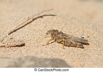 Grasshopper Orthoptera resting on a gravel beach