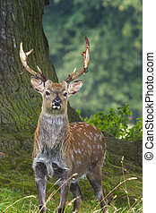Sika Deer  (Cervus nippon) closeup in the wild