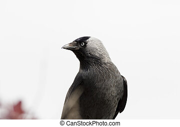 Jackdaw Corvus monedula close-up image
