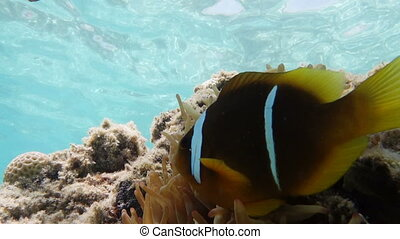 two curious clown fish