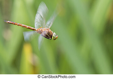 Norfolk Hawker Aeshna isosceles in flight