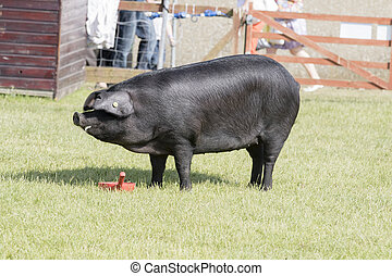 pig being judged - Harrogate, North Yorkshire, UK 15th July,...