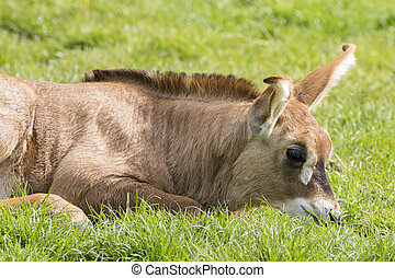 Roan antelope (Hippotragus equinus) - A baby Roan antelope...