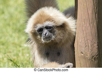 White-Handed Gibbon (Hylobates lar) behind a tree