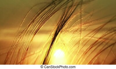 Grass Against The Setting Sun - At sunset, the sun...