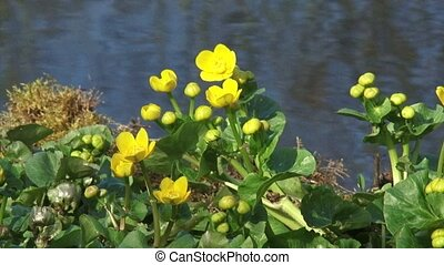Marsh Marigold, Caltha palustris - close up blooms in early...