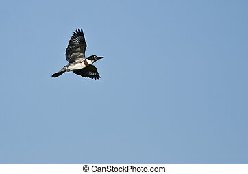 Belted Kingfisher Flying in a Blue Sky