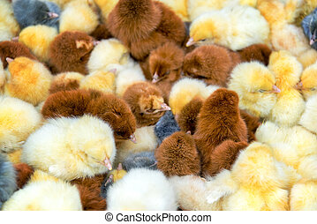 Closeup of Chicks - Closeup view of yellow, brown, and grey...