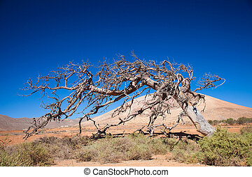Fuerteventura, Tetir area - dry dead fig tree shaped by...