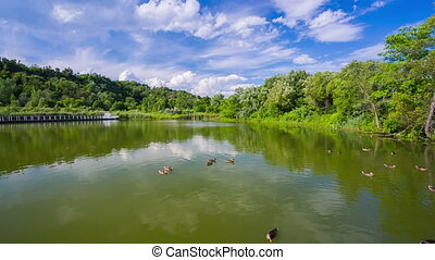 Ducks swimming in pond in Scarborough Bluffs Park in...