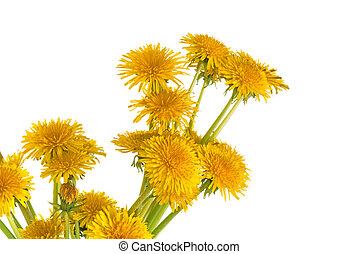 dandelions  - Yellow dandelions arranged in bunch of flowers