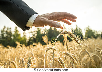 Businessman or environmentalist holding a palm of his hand above an ear of ripe golden wheat