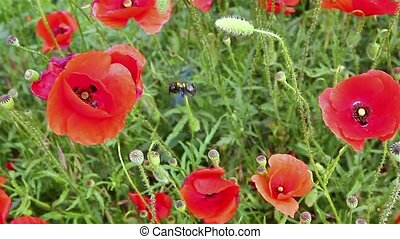 Red poppies with Bumble Bee - Close up view of large earth...