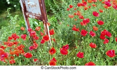 Red poppies - Close up field of moving blossoming poppies at...