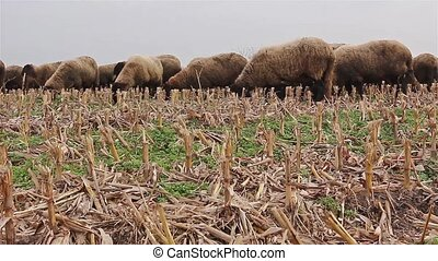 Flock of sheep grazing in a field - Flock of sheep is...