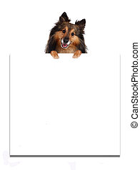 Sheltie on top of advertisement - Sheltie on top of a blank...