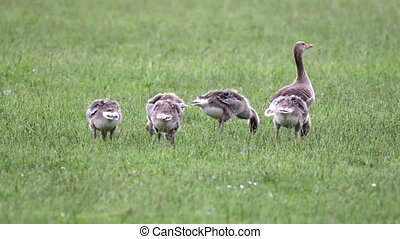 Anser fabalis, Bean Goose, Lower rhine family