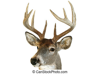 Whitetail head close up quartering towards - Close up of a...