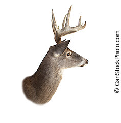 Whitetail Buck Deer Head Profile - A profile of a whitetail...