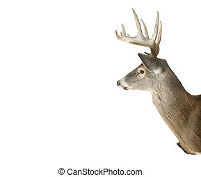 Whitetail Buck Deer Head Profile With Adspace - An Isolated...