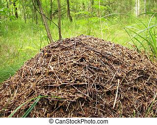 formiga,  coniferous, madeira, colina, grande