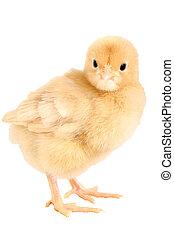 recem nascido, galinha, pula, Orpington, Cortando, caminho