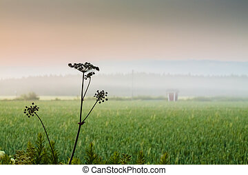 Cow Parsley On A Misty Night - Cow parsley, fields and an...