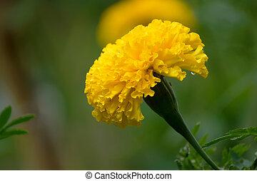 Marigolds (Tagetes erecta, Mexican marigold, Aztec marigold,...