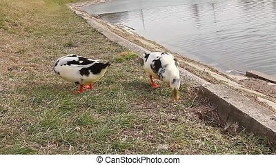 Geese and ducks eating seeds. - Some geese and ducks are...