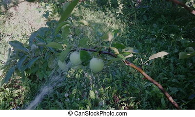 gardener watering apple tree in the garden