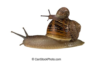 Small Snail Riding on Bigger Snail - Small snail hitching a...