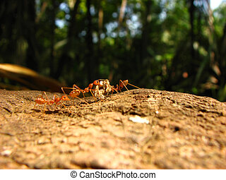Hardworking Ants - Red ants from the Indian tropics carrying...