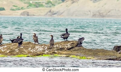 Shags In The Sea - Shags on a rock in the sea