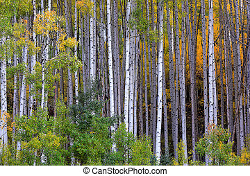 White aspen trees in autum - Aspens at fall in Colorado...