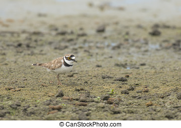 Little Ringed Plover Charadrius dubius standing on muddy...